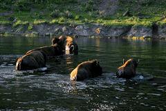 Bisons in Yellowstone Stock Photos