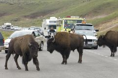 Bisons in Yellowstone Royalty Free Stock Photos