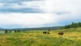 Bisons at Yellowstone National Park, WY, USA royalty free stock image