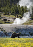 Yellowstone. Bisons in Yellowstone National Park, Wyoming, United States royalty free stock image