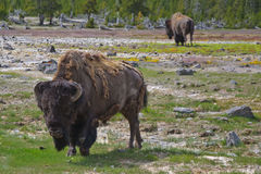 Bisons in Yellowstone Park USA Royalty Free Stock Photos