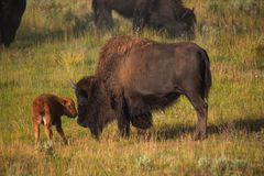 Bisons with young calfs on field in Yellowstone National Park royalty free stock photo