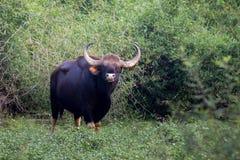 Bisonstier im Wald Stockfotografie