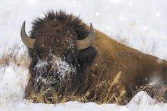 Bisonstier in Yellowstone Stockfotografie