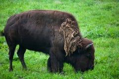 Bisonte Fotografia de Stock
