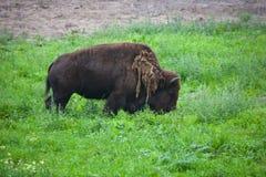 Bisonte Imagen de archivo