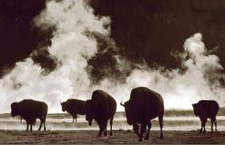 Bisonte Imagen de archivo libre de regalías