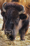 Bisonte Foto de archivo