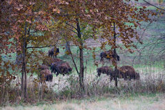 Bisonte Imagenes de archivo