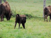bisonte Imagem de Stock Royalty Free