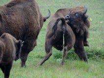 bisonte Imagem de Stock