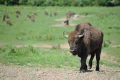 bisonte Foto de archivo libre de regalías