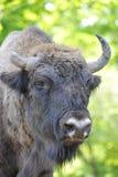bisonte Fotografía de archivo libre de regalías