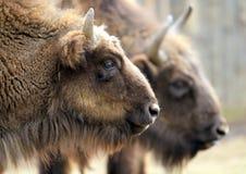 bisonte Immagine Stock Libera da Diritti
