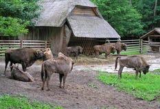 Bisonte Imagens de Stock