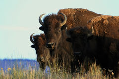 Bisonte Fotografia Stock