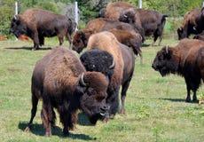 bisonte Foto de Stock