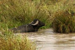 Bisonte in acqua Fotografie Stock Libere da Diritti