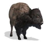 Bisonte ad ovest selvaggio Fotografie Stock