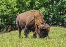 Bisonte allo zoo di NC in Asheboro Fotografia Stock