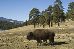Bisonte americano Fotos de Stock Royalty Free