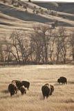 Bisonte americano Fotografia de Stock