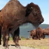 Bisonte americano Fotografía de archivo
