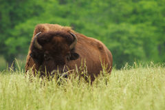Bisonte americano Imagem de Stock