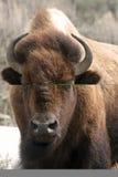 Bisonte americano Fotografie Stock Libere da Diritti