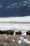 Bisonte americano Fotografia de Stock Royalty Free