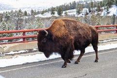 Bisonte americano foto de archivo libre de regalías