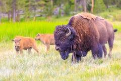 Bisonte americano Immagini Stock