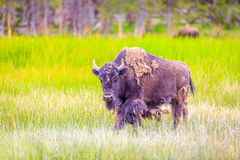 Bisonte americano Fotografie Stock