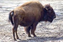 Bisonte americano imágenes de archivo libres de regalías