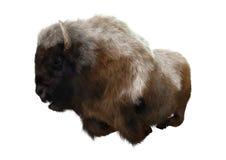 Bisonte americano Imagens de Stock