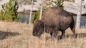 Bisonte americano Imagen de archivo libre de regalías