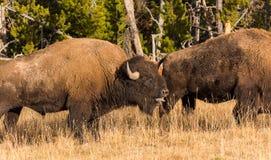 Bisonte americano Imagen de archivo