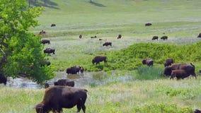 Bisonte americano almacen de metraje de vídeo