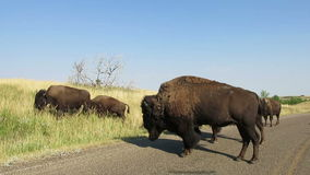 Bisonte americano, búfalo, fauna, viaje metrajes