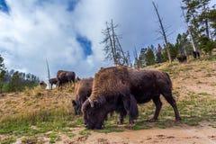 Bisonte americano/búfalo numerosos en el parque nacional w de Yellowstone Imagen de archivo