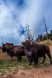 Bisonte americano/búfalo numerosos en Yellowstone Fotografía de archivo