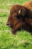 Bisonte americano/bisonte americano Fotografie Stock