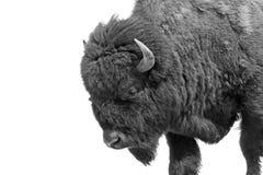 Bisonte americano (bisonte del bisonte) immagini stock