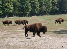 Bisonte americano (bisonte do bisonte) Imagens de Stock
