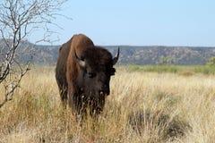 Bisonte americano, bisonte do bisonte Fotografia de Stock