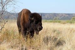 Bisonte americano, bisonte do bisonte Foto de Stock