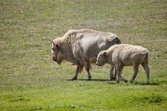 Bisonte americano branco e bebê que pastam em um campo Foto de Stock Royalty Free