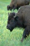 Bisonte americano (Buffalo) Fotografie Stock Libere da Diritti