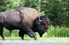 Bisonte americano/Buffalo Immagini Stock
