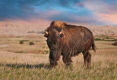 Bisonte americano Bull de los Badlands Foto de archivo libre de regalías